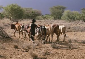 A Turkana boy herds his family's cows in Kenya (IRIN)